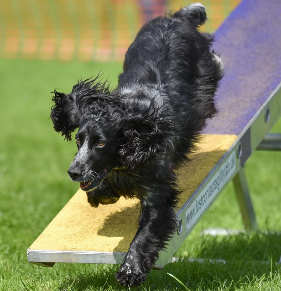 Dog Agility And Flyball Equipment From First Contact Agility